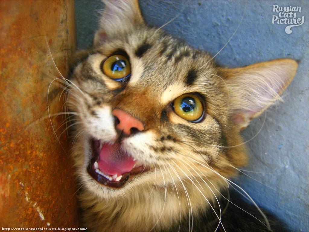 Yellow-Eyed Brown Mackerel Tabby Shy Cat
