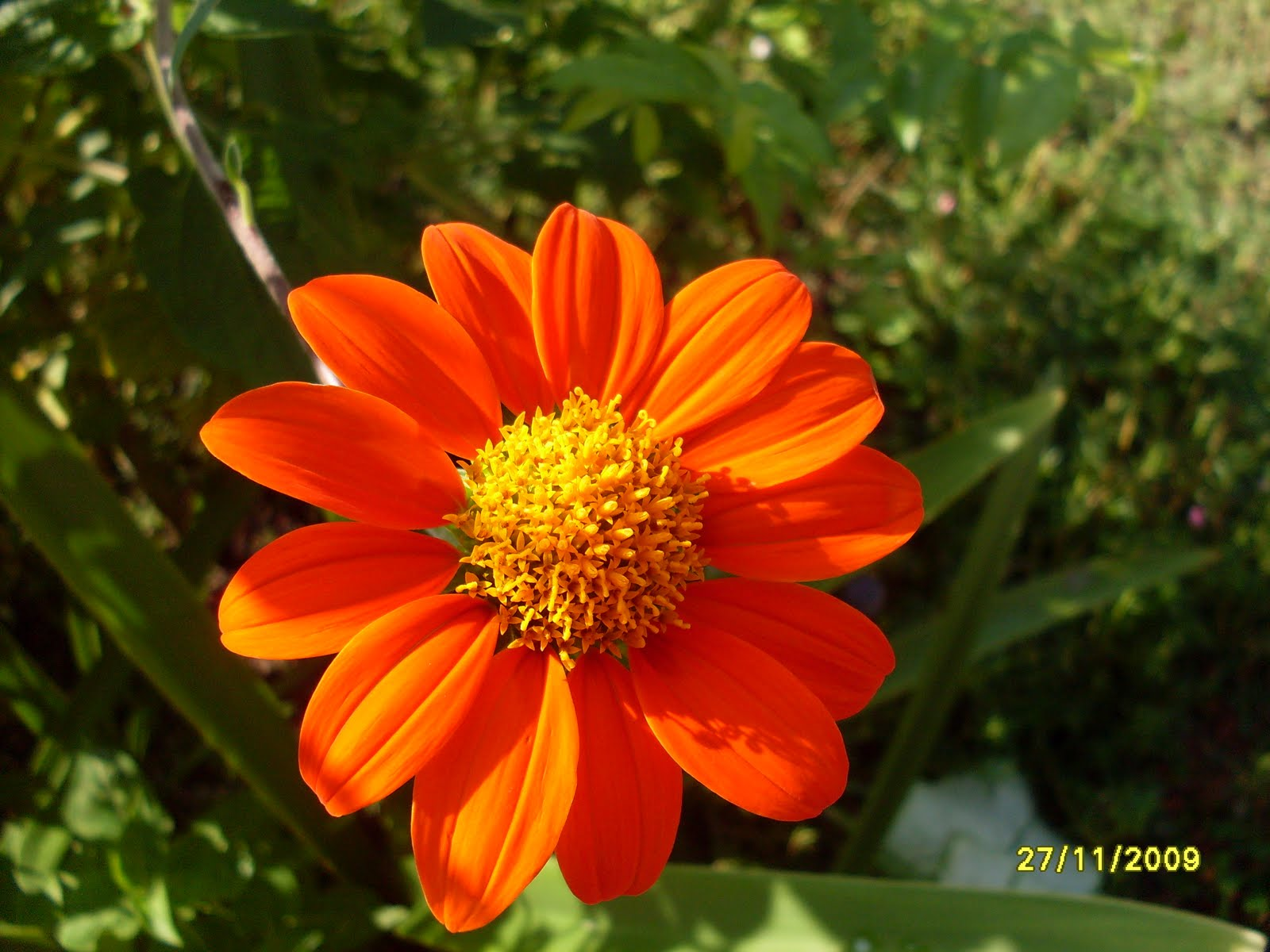 Титония фото цветы посадка уход