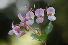 Indian balsam (impatiens glandulifera)