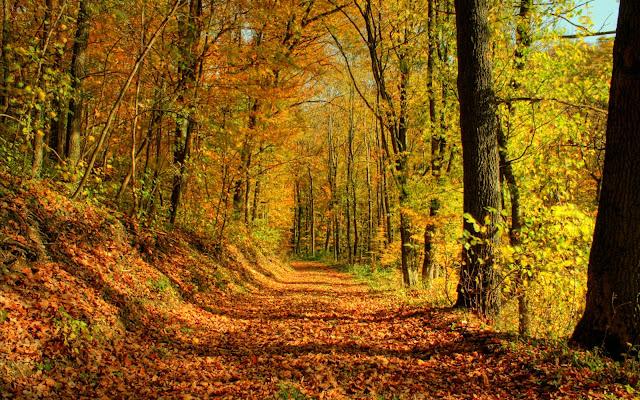 Pad in het bos bedekt met bladeren