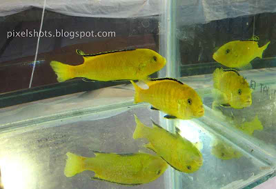 yellow-aquarium-fishes, aquarium-show-kerala