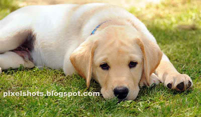 cute-puppy,yellow-labrador-puppy,endal-junior,ej,puppy-closeup,training-dog-puppys