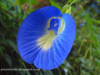 shankupushpam,aparajita,blue pea blue flower,medicinal flowering plant