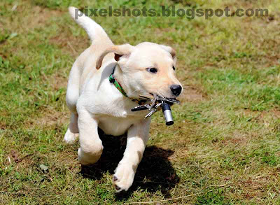 endal junior,cute puppy photos,puppy training,canine partners puppy,assistance dogs,ej during training,yellow labrador retriever,cute puppy ej retrieving keys for master during pet dog training session