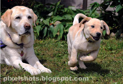 endal and ej,most intelligent pet dogs,assistance dogs for disabled,trained labradors for helping disabled people,cute yellow labradors,endal and ej during assistance training,little labrador puppy and big labrador