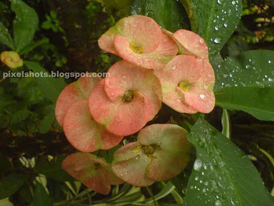 mature flowers,colour changing flowers,euphorbia millii,ornamental flowering plants of kerala,tropical garden plants,euphorbia flowers,potted garden plant flowers,less care needed garden plants,shrubby spiky plants,garden plants with white sap,pink flower changing colour