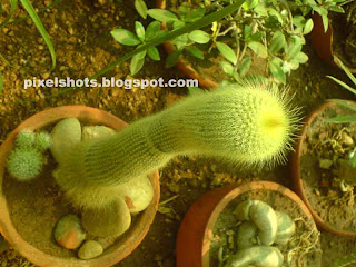 kerala garden cactus,cactii photos,cylindrical cactus plants,garden succulents,drought tolerant garden plants,cute cactus plants,cactus types and names,cactus grown in pots,kerala garden plants,pot cactus plants,potted garden cactus