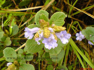 neelakurinjy violet flowers closeup photograph taken from munnar hillstation of kerala
