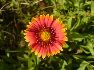 blanket-flower-closeup,Gaillardia flowers,drought tolerant flowering plants,flower closeup digital photograph