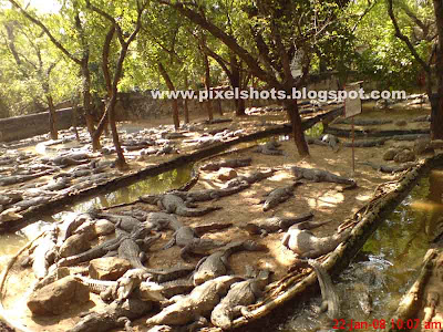 crocodile group picture from crocodile bank of madras india, crocodiles in croc world, crocodiles of madras crocodile zoo, reptile park in chennai, biggest reptile park of south India, big crocodile group
