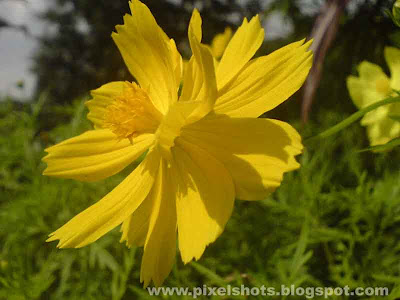 yellow flower closeup in bright sunlight taken from gardens using cell phone camera