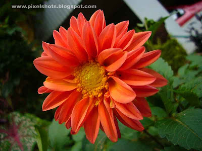 flower closeup photograph of orange dalia flower from home garden