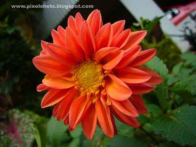 flower closeup photograph of orange dalia flower from home garden