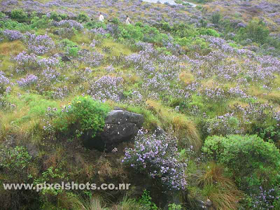 rare flowers of kerala india,neelakurinji flowers from munnar kerala