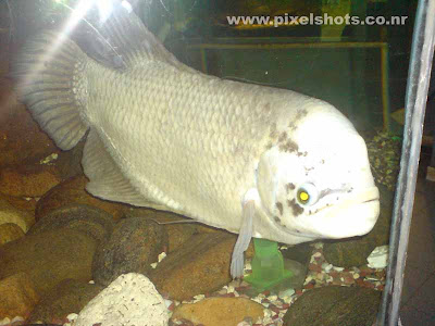 giant gaurami aquarium fish closeup photograph from fish tank in calicut kerala india,Gouramy fish in aquarium