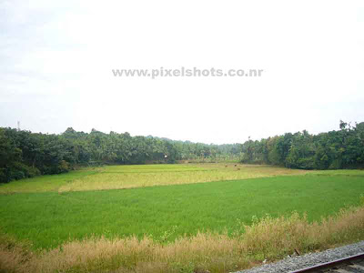 paddy fields photograph from kerala india,green lush paddy fields cultivation photographed during a train journey,rice cultivation photos from kerala