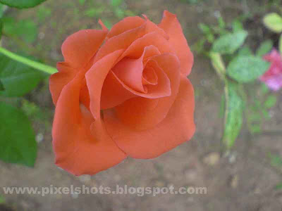orange rose flower half bloomed closeup flower photo,from gardens of kerala india