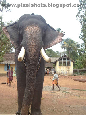 elaphant tusker named guruvayoorappan from guruvayoor temple of kerala-india,Big Tusker,KErala elephants,trained-temple-elephants