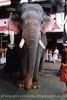 tusker elephants of kerala temples,elephant named Guruvayur nandan,elephants-guruvayoor,kerala-tuskers,elephant-photo,elephant-names