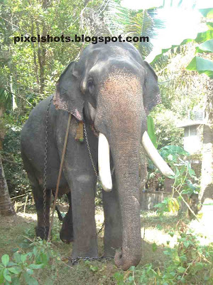 kerala domestic elephants,sankaranarayanan,elephant-of-kerala,big-elephant,elephant-photo