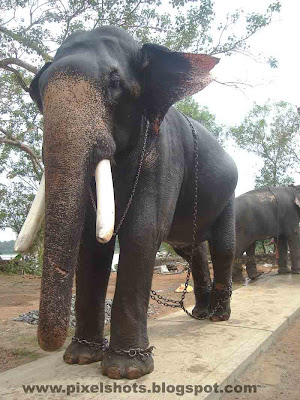 temple elephant,sankaranarayanan,elephant of-kerala,elephant-photo-with-names