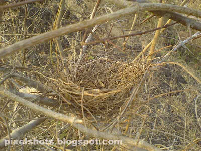 bird nest picture,nest made of dry sticks