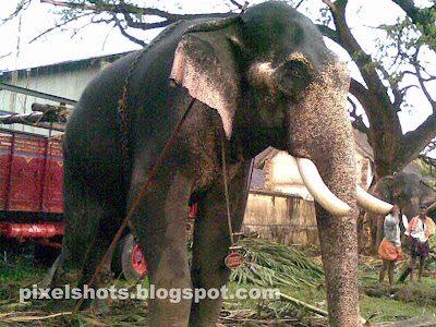 kerala-domestic-elephants,names-of-kerala-elephants,kutty-shankaran,big-elephant