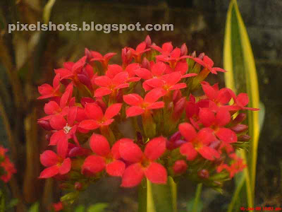 red flowers bunch photographed from home garden plants in kerala India,photography of flowers in closeup shoot mode,closeup photos of red flowers from kerala gardens