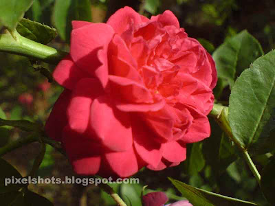 pictures of flowers roses. Red Rose Flower from Kerala- Roses found in South India