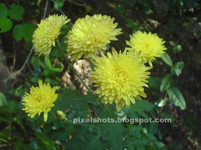 yellow chrysanthemums,yellow jamanthi flowers,kerala flowers jamanthy,yellow flowers,common south Indian flowers