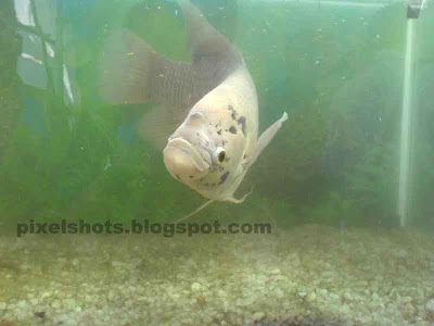 giant gourami photo,gourami aquarium fish,fresh water aquarium fishes,gouramy aquarium fish photo,giant gouramy,fish photo,cell-phone-photography