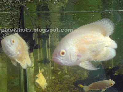 oscar fish pairs,aquarium-fish-pictures,aquarium-supplies-cochin,tiger-oscars