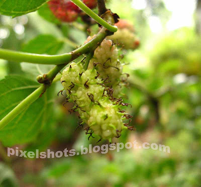 green-fruits,kerala-fruits,fruit-medicine,obesity-medicine