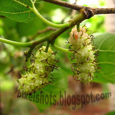 green-fruits,raw-mulberry,kerala-fruit,tree-fruits,pixelshots-photo