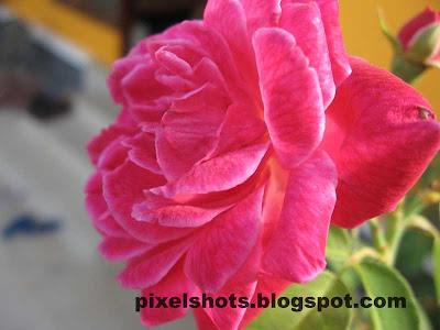 rose closeup digital photograph,pink rose macro photo,roses kerala,keralas flowers,hot pink rose,cannon a530 macro mode flower photograph