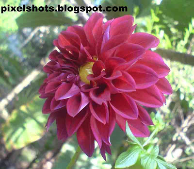dahlia flower closeups,violet-garden-flower,fresh-violet-dahlias,dahlia plant facts,kerala-flowers,pixelshots-flower-photography
