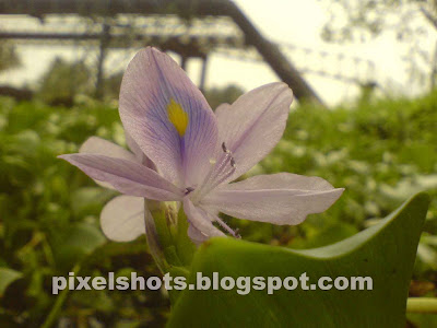 water-hyacinth-flower,violet-water-flower,water-weed-flower,aquatic-plants,floating,plants,water-weeds-kerala-rivers
