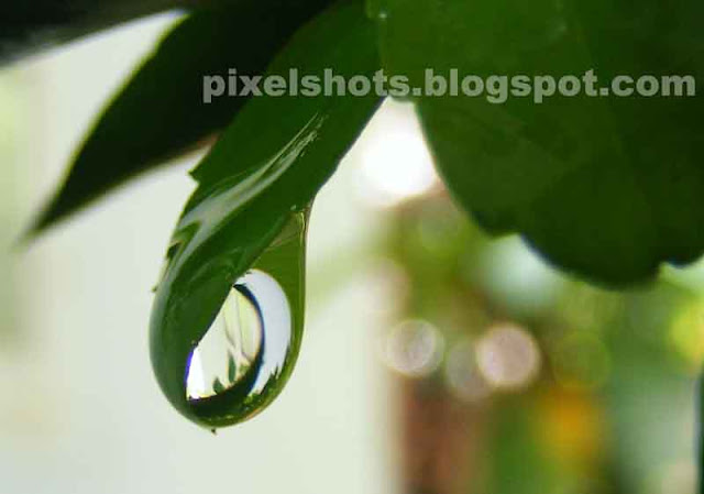 green leaf holding water drop,big rain water drop held inside leaf tip,beak like green leaf holding rain droplet