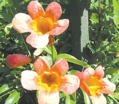 trumpet vine plant. Red Trumpet Vine: