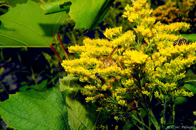 Wasps on goldenrod