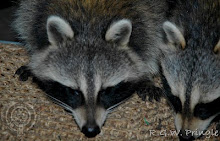 Raccoon Visitors