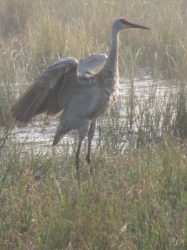 Sandhill Cranes