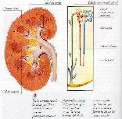 Biologia 3° A LCQ: Sistema Renal y Homeostasis