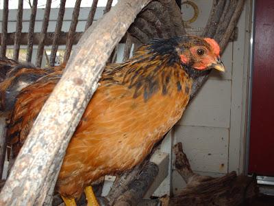 minos chicken
