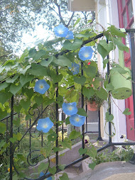 Morning Glory Vine by the Front Door