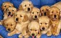 Una Familia De Cachorros Golden Retriver