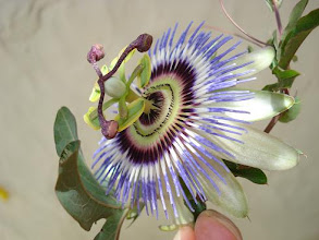 Flor de Burucuyá