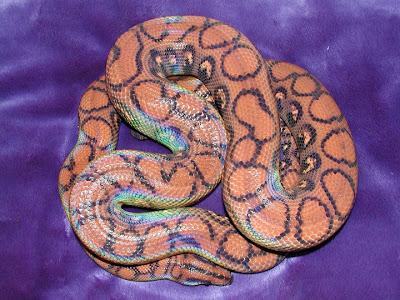 Reptil Mania - Brazilian Rainbow Boa, snake