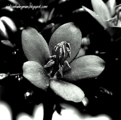black and white photos of flowers. lack and white flowers