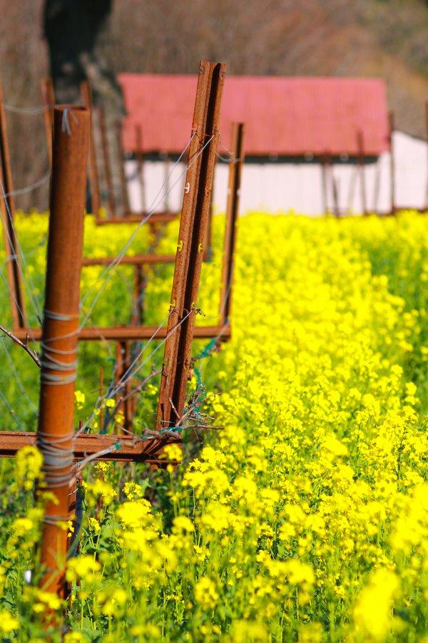 Napa Valley Mustard Harvest